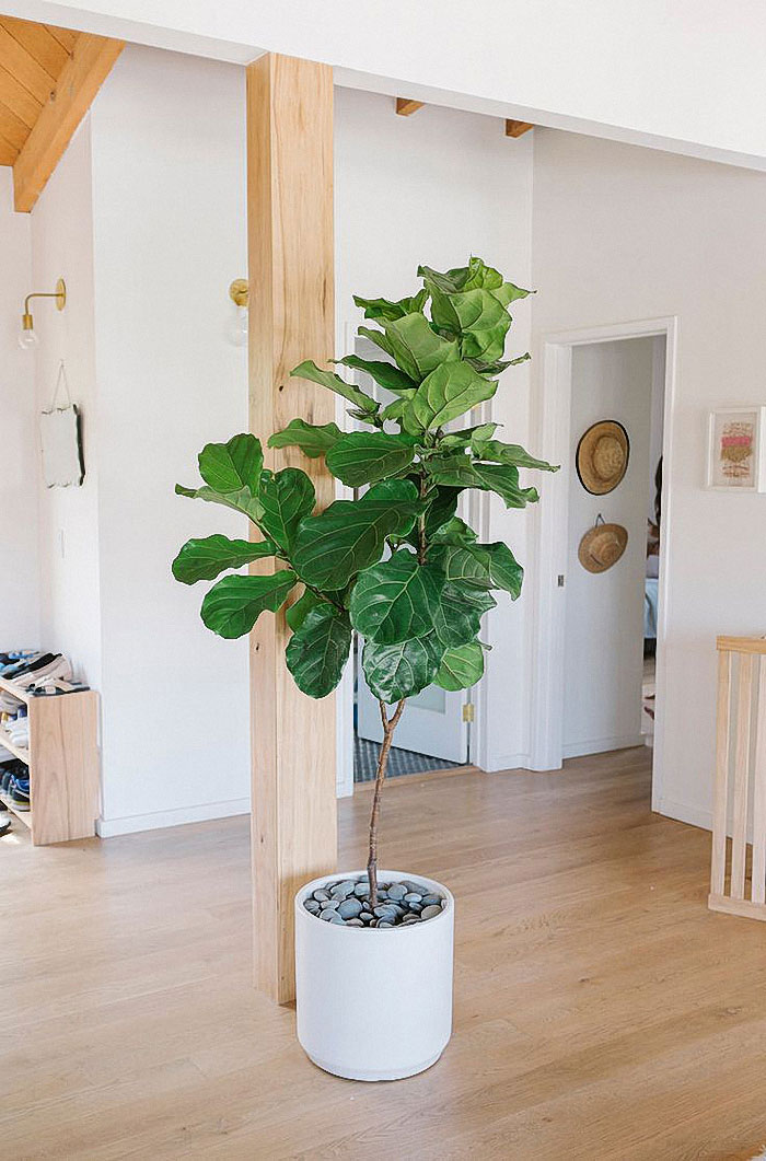 jestcafe.com-fiddle-leaf-fig-tree1