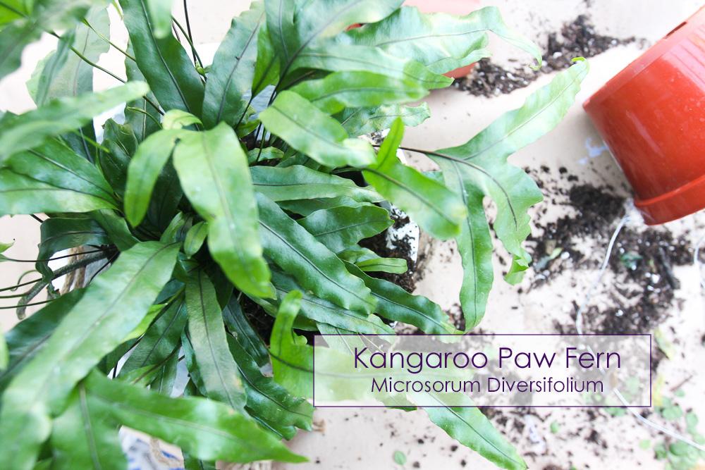kangaroo paw fern